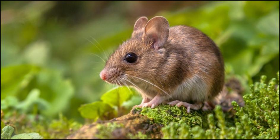 Alasan Penting Mengapa Mesti Memberantas Tikus Dan Mencerai Beraikan Nya Bermula Rumah Anda Yakni Tidak Hanya Keberadaannya Yang Mengaduhkan Bau