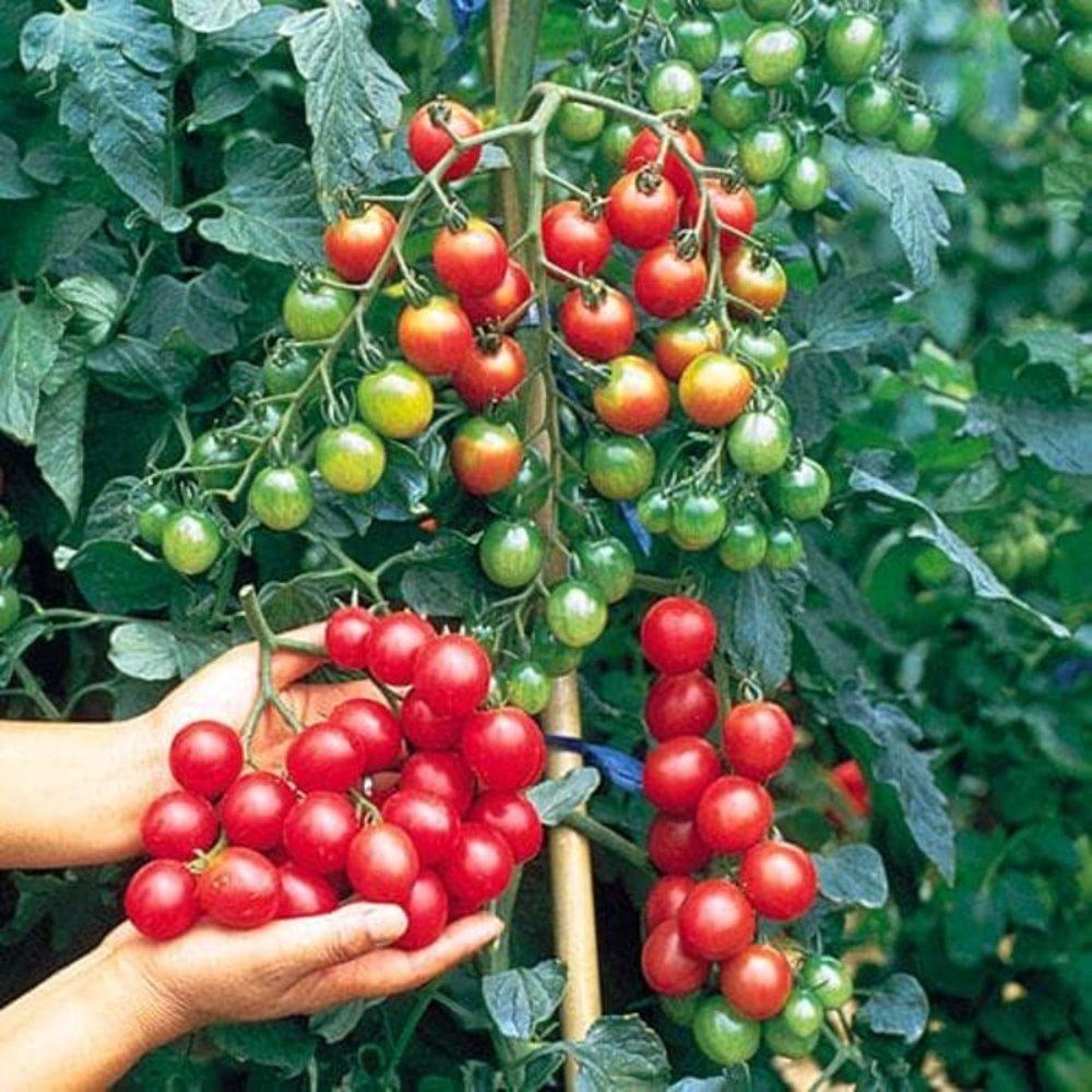 6 Metode Menanam Tomat Cherry Hidroponik System Fertigasi Sumber Plastik