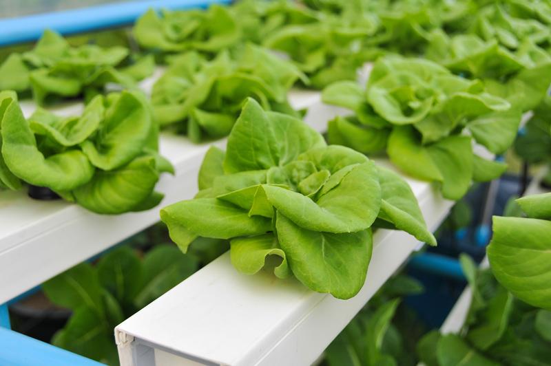 mengapa sayur hidroponik lebih sehat daripada sayur biasa