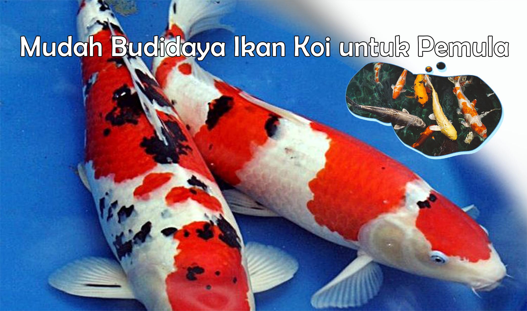Mudah Budidaya Ikan Koi untuk Pemula