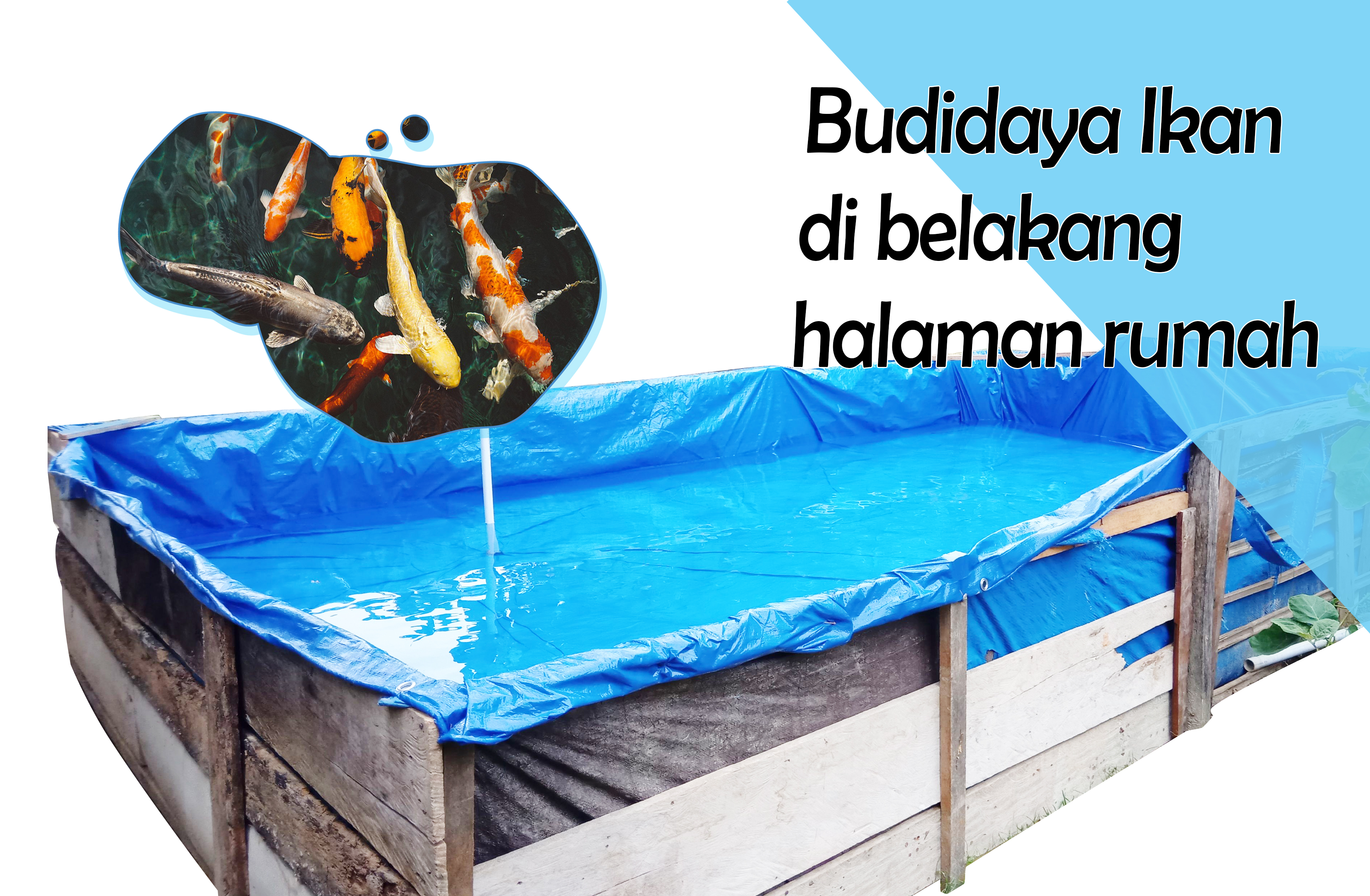 Budidaya Koi