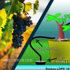Cara Irigasi Kebun Anggur