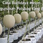 10 Cara Budidaya Melon Menggunakan Polybag Yang Benar